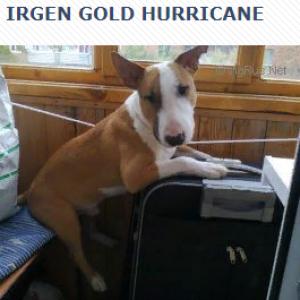 IRGEN GOLD HURRICANE